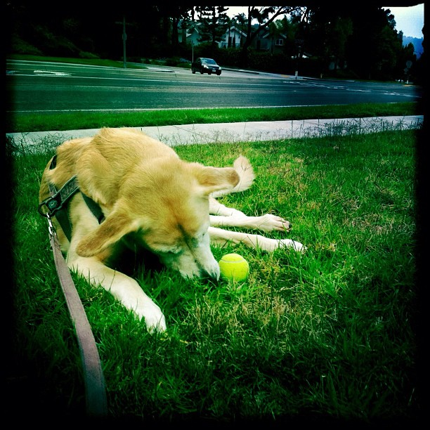 Some wonderful ladies playing  shot us some balls on our walk. I think this is like winning the lotto for Lily.