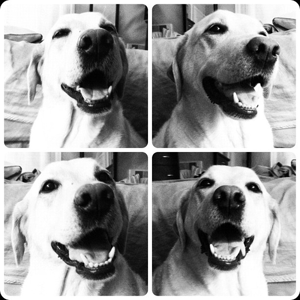 Its a Lab Thing Friday Yellow Chocolate Black Labradors (17)