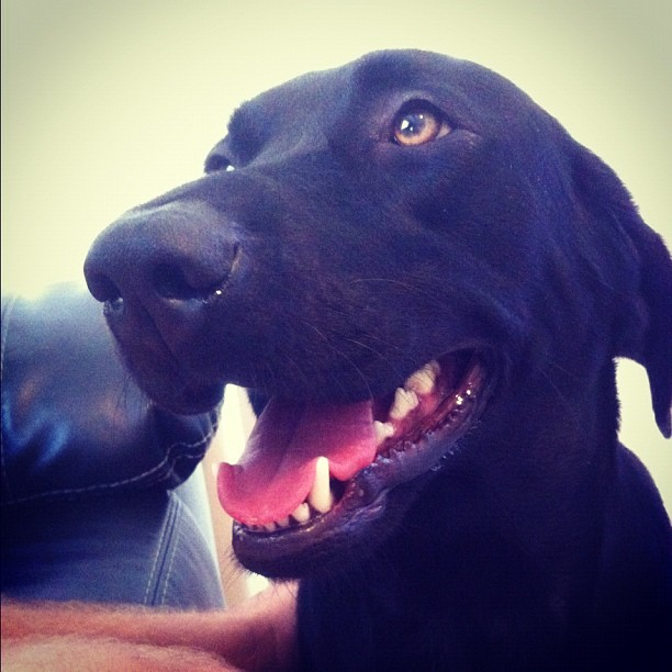 Its a Lab Thing Friday Yellow Chocolate Black Labradors (4)