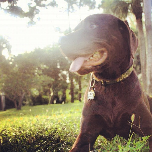 Its a Lab Thing Friday Yellow Chocolate Black Labradors (7)