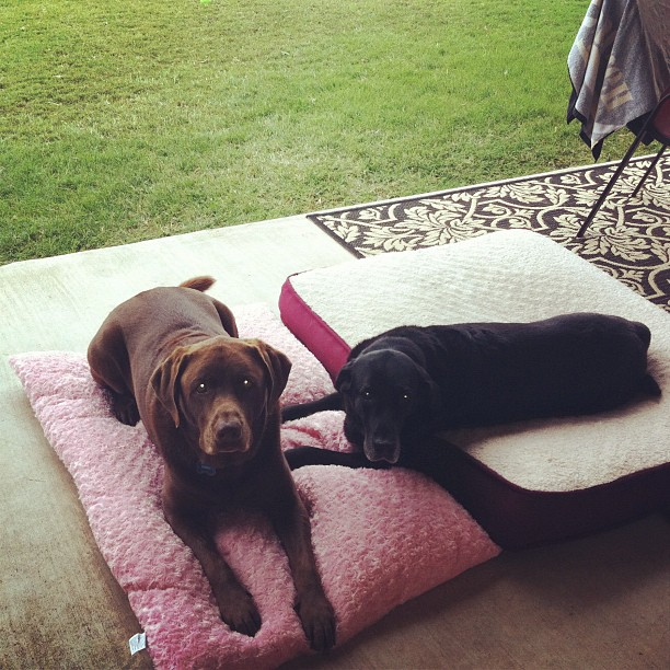 Its a Lab Thing Monday Afternoon Yellow Chocolate Black Labradors (10)