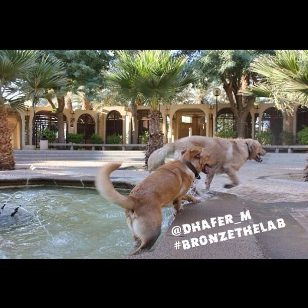 Its a Lab Thing Monday Afternoon Yellow Chocolate Black Labradors (14)