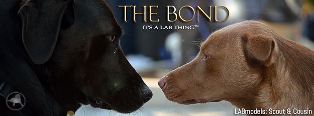 "Whether Labradors are Purebred or Lab Mix they both know ""The Bond"" exists between them that they are all 100% Lab at the core of their souls."
