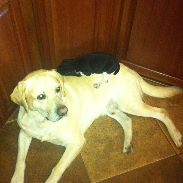 Its a Lab Thing Tuesday Afternoon Yellow Chocolate Black Labradors (9)
