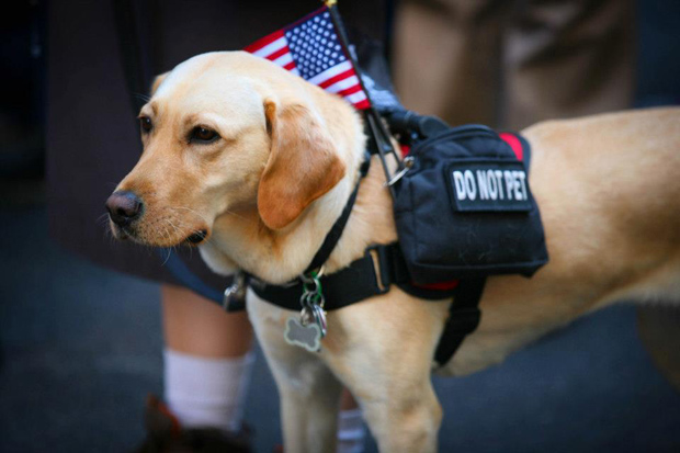 Its-a-Lab-Thing-Veterans-Day-Labradors011