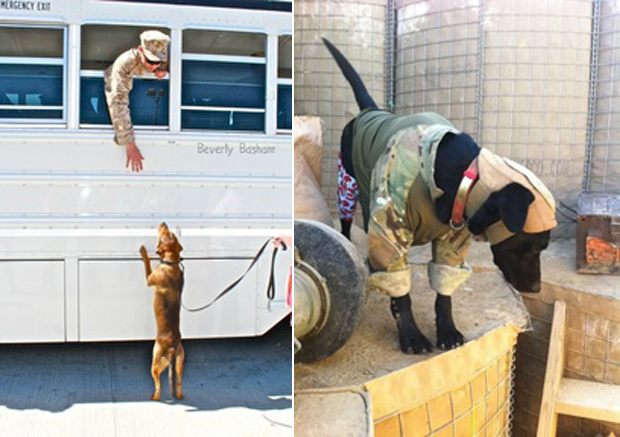 Its-a-Lab-Thing-Veterans-Day-Labradors012