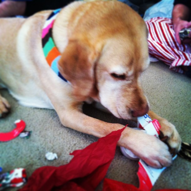 Day-29-Teddy-opening-a-present-on-Christmas-dogdaysphoto
