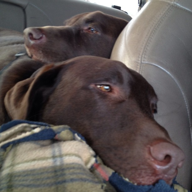 Sleepy-boys-after-a-short-camping-trip.-labstagram-chocolatelabs-chocolatelabradors-dogsofinstagram-