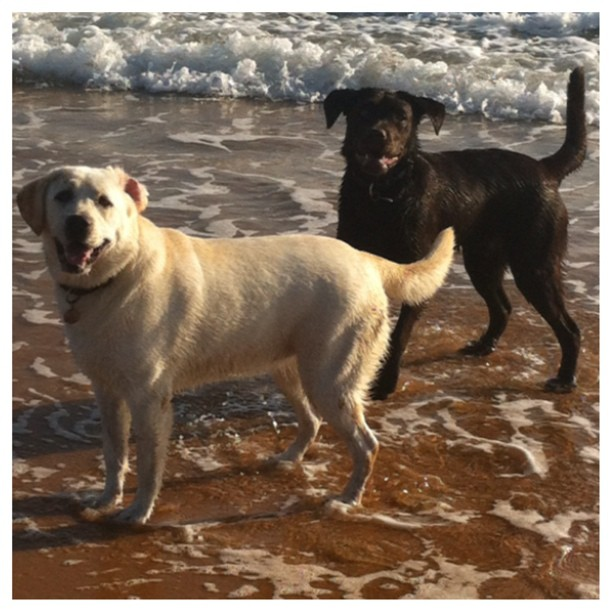 Two-very-happy-Labs-at-the-beach.-itsalabthing-labs-labrador-instapets-love4labs-gyprix