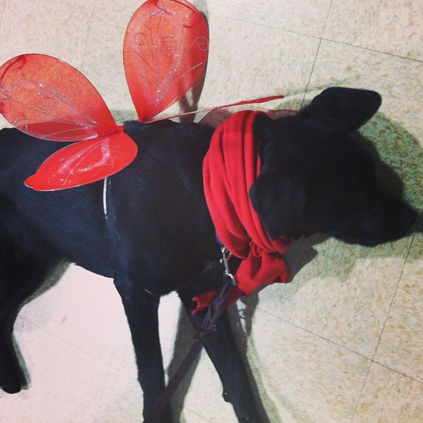guidingeyes-Diana-practicing-over-after-she-did-some-body-handling-work-while-being-dressed-up-in-he