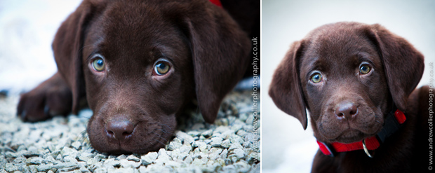 Its-a-Lab-Andrew-Collier-Labrador-Showcase-002