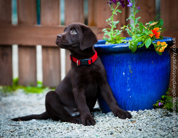 Its-a-Lab-Andrew-Collier-Labrador-Showcase-003