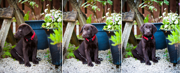 Its-a-Lab-Andrew-Collier-Labrador-Showcase-004