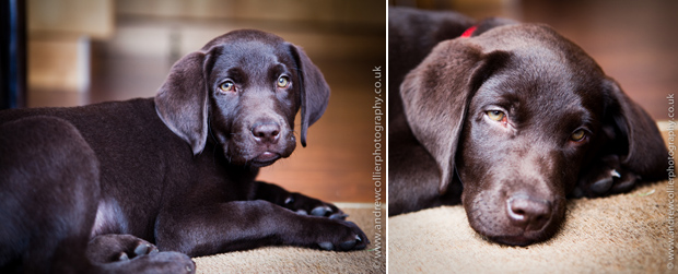 Its-a-Lab-Andrew-Collier-Labrador-Showcase-016