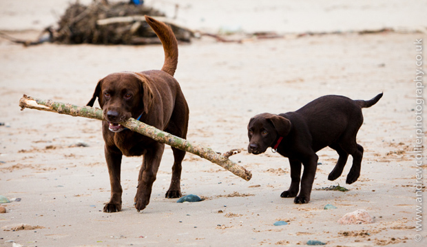 Its-a-Lab-Andrew-Collier-Labrador-Showcase-017
