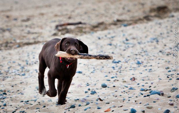 Its-a-Lab-Andrew-Collier-Labrador-Showcase-020