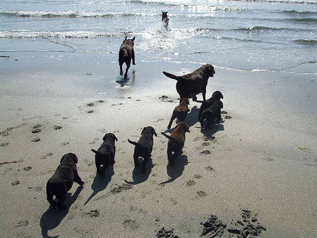 its a lab thing-puppy beach experience -labrador web