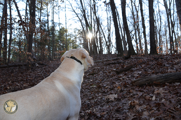 Its a Lab Thing Brody Saban Hiking Labradors (9)