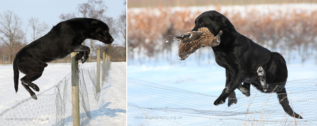 Its-a-Lab-Thing-Labrador-Dogtography-showcase-001