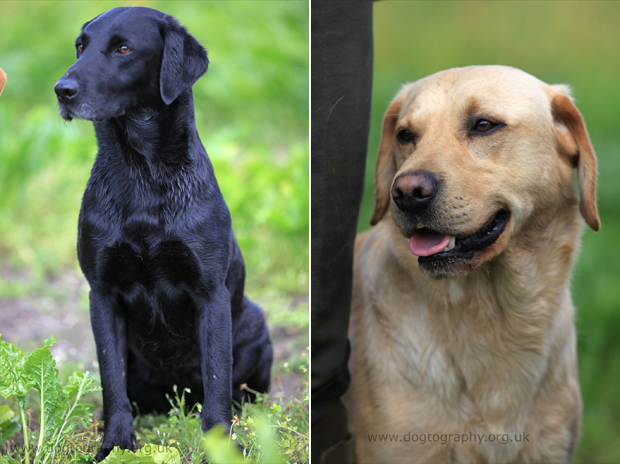 Its-a-Lab-Thing-Labrador-Dogtography-showcase-004