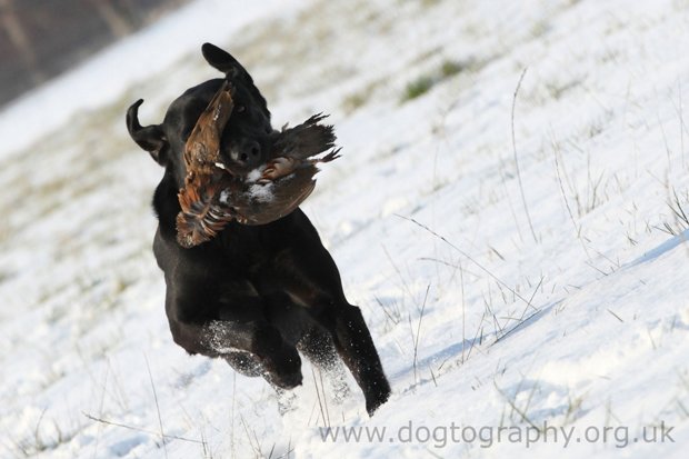 Its-a-Lab-Thing-Labrador-Dogtography-showcase-008