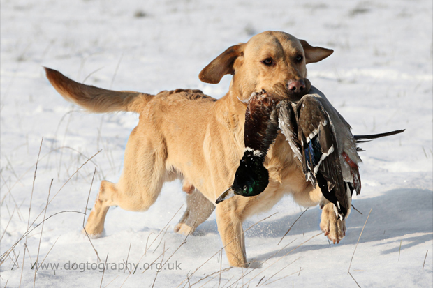 Its-a-Lab-Thing-Labrador-Dogtography-showcase-009