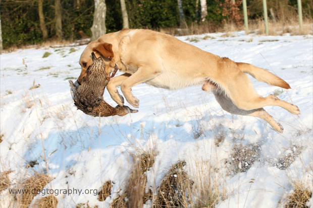 Its-a-Lab-Thing-Labrador-Dogtography-showcase-010
