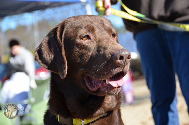 Its a Lab Thing Labrador Friends of the South Adoption Event 22913 -41