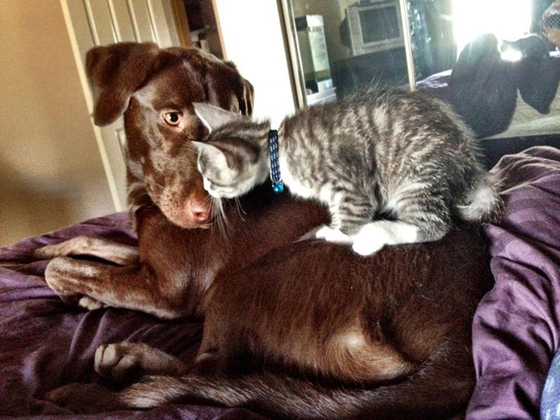 Its_a_Lab_Thing_Chocolate_Yellow_Labrador_cats_so_busted_001