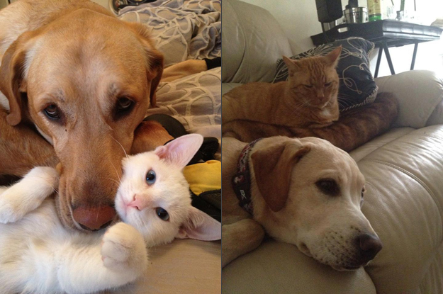 Its_a_Lab_Thing_Chocolate_Yellow_Labrador_cats_so_busted_002