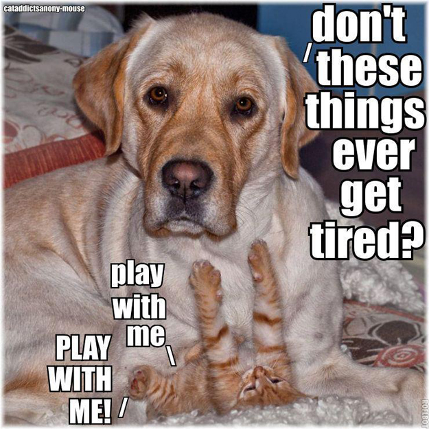Its_a_Lab_Thing_Chocolate_Yellow_Labrador_cats_so_busted_003