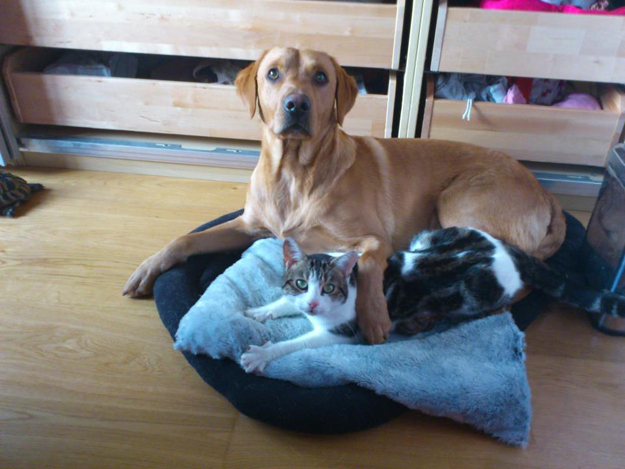 Its_a_Lab_Thing_Chocolate_Yellow_Labrador_cats_so_busted_004