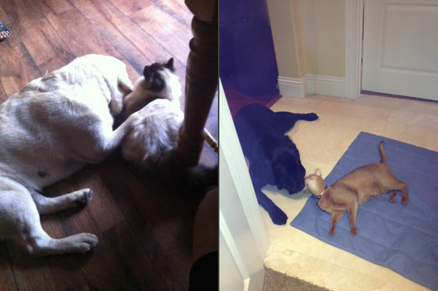Its_a_Lab_Thing_Chocolate_Yellow_Labrador_cats_so_busted_005