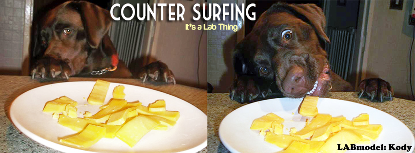 its a lab thing cheese counter surfing labrador