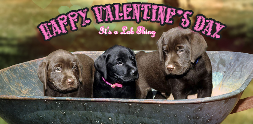 its a lab thing valentines day labrador