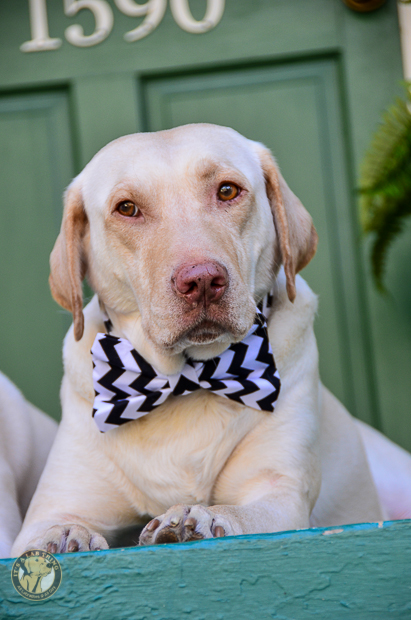 3 Shades of Dog It's a Lab Thing Bow Tie Labrador-23-2