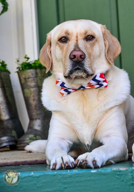 3 Shades of Dog It's a Lab Thing Bow Tie Labrador-28-2