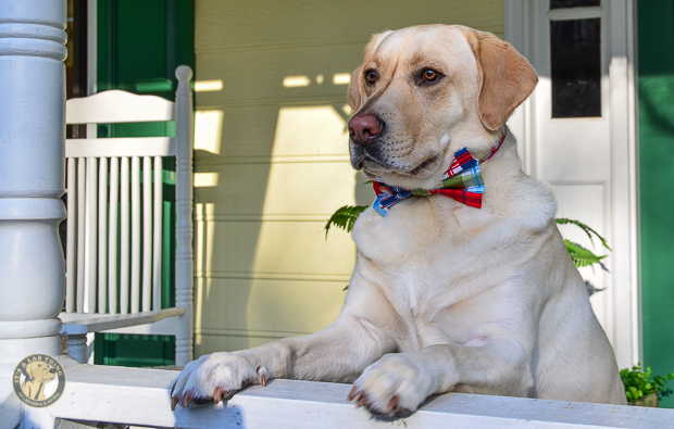 3 Shades of Dog It's a Lab Thing Bow Tie Labrador-4