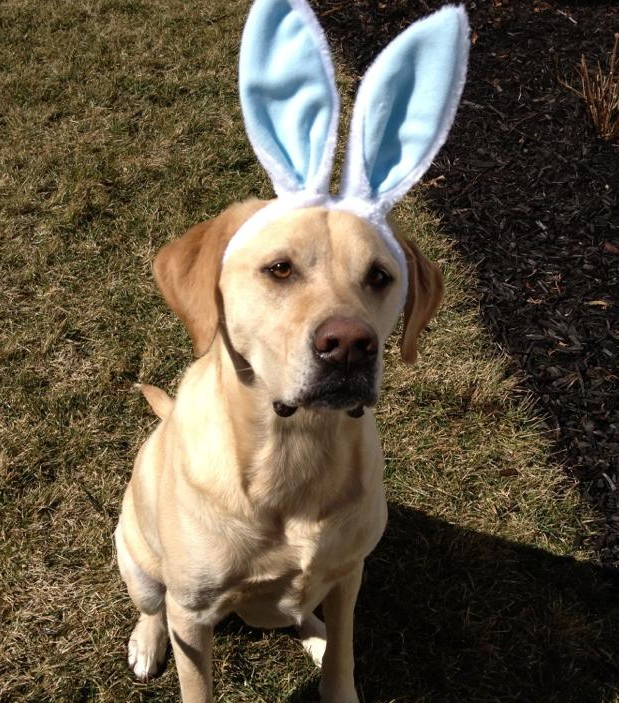 It's a Lab Thing Easter Rabbit Labrador