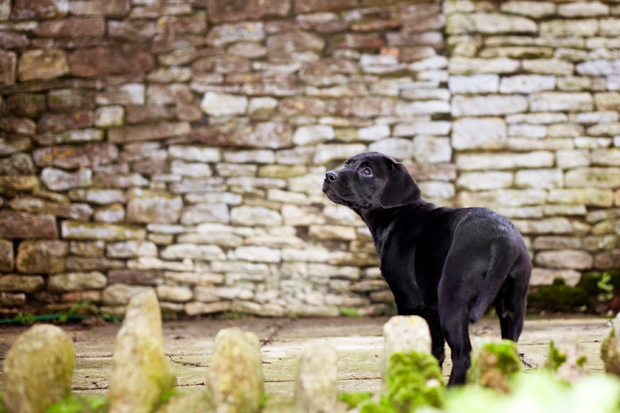 Its-a-Lab-Thing-Labrador-BeckyWilliams-Showcase-001