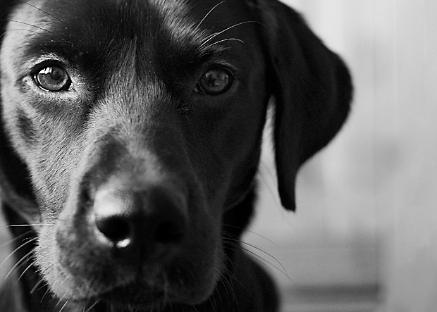 Its-a-Lab-Thing-Labrador-BeckyWilliams-Showcase-003