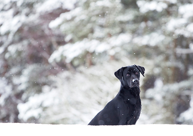 Its-a-Lab-Thing-Labrador-BeckyWilliams-Showcase-007