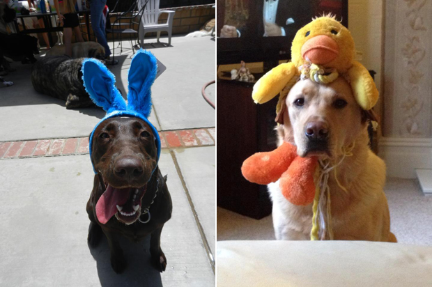 Its-a-Lab-Thing-Labrador-Easter-002