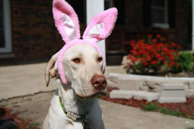 Its-a-Lab-Thing-Labrador-Easter-003