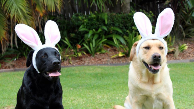 Its-a-Lab-Thing-Labrador-Easter-005