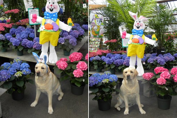 Its-a-Lab-Thing-Labrador-Easter-006