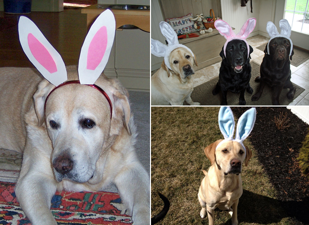 Its-a-Lab-Thing-Labrador-Easter-007