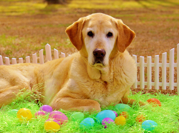 Its-a-Lab-Thing-Labrador-Easter-008