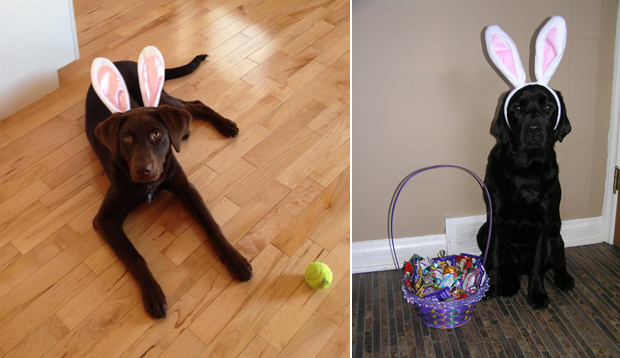 Its-a-Lab-Thing-Labrador-Easter-011