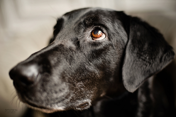 Its-a-Lab-Thing-Labrador-MelHammonds-LifeandDogs-003